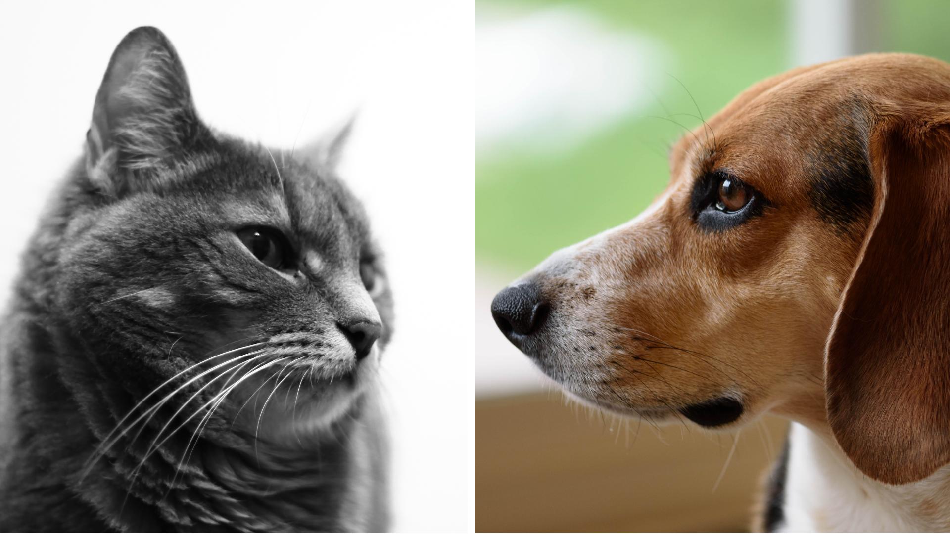 """Webinar """"Diabetes Mellitus felina vs canina"""""""